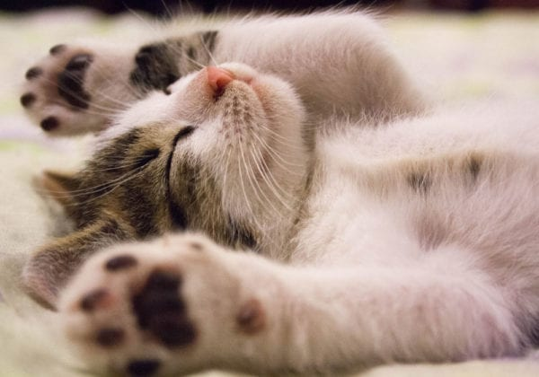 Le 25 più belle frasi sui Gatti (in inglese e italiano)