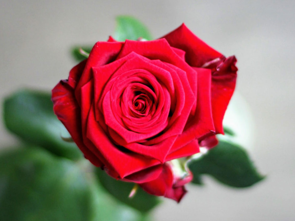 Frasi Sulle Rose Le 25 Piu Belle In Inglese E Italiano
