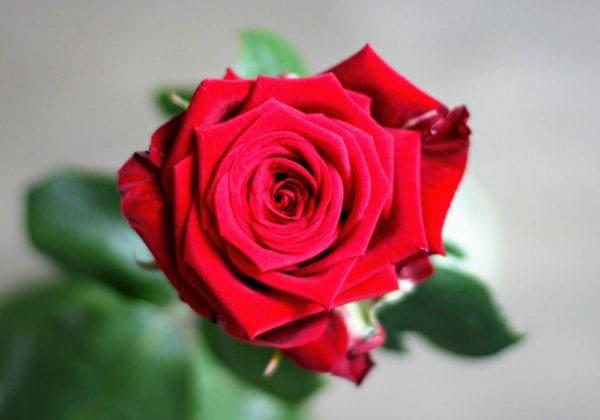 Frasi sulle Rose